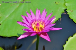 water_lily01