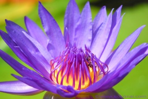waterlily_01