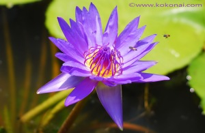 waterlily_02