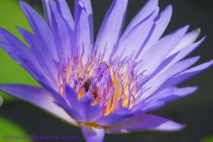 waterlily_05